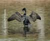 Double-crested Cormorant preening, Santee Lakes, CA