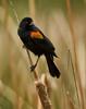 Red-wing Blackbird, Santee Lakes, CA