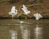 Snowy egrets, Santee Lakes, CA