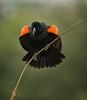 Red-winged Blackbird, Santee Lakes, CA