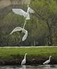 Great Egrets squabiling, Santee Lakes, CA