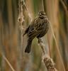 House Sparrow, Santee Lakes, CA