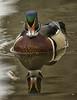 Wood Duck,  Santee Lakes, CA