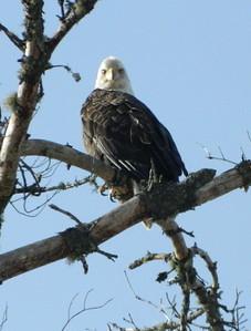 1 30 2014 Bald Eagle, Lake Clear, NY, march 24, 2013 DSCN2573a