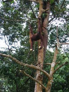 acrobatic juvenile orangutan