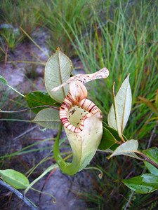 pitcher plant on the trail at bako national park