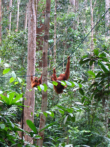 mother and baby coming down out of the forest to get some supplemental fruit from a feeding platform at the reserve