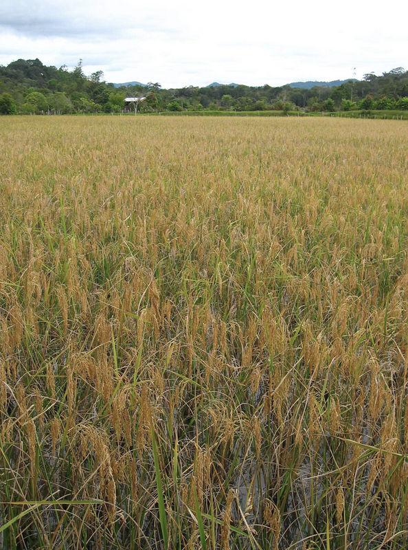 rice field around a kelabit village.