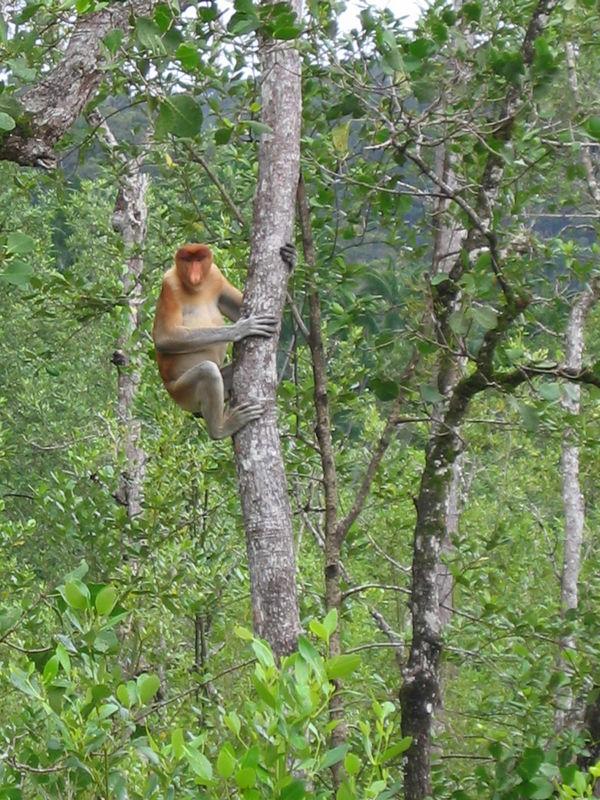 proboscis monkey in mangrove swamp in bako national park