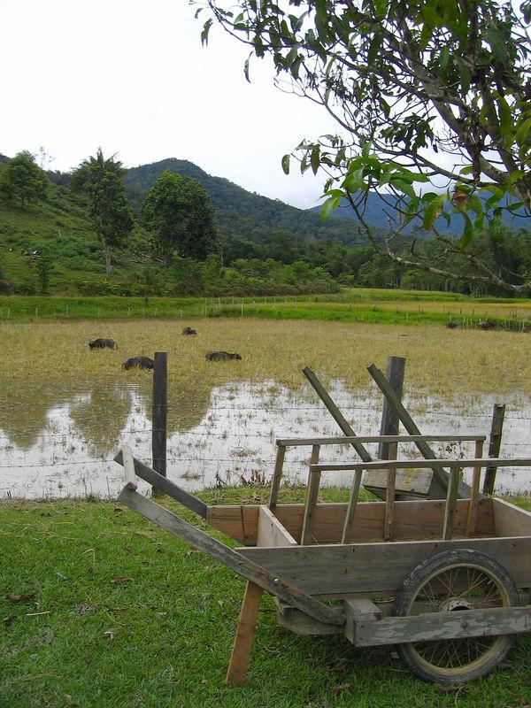 water buffalo around a kelabit village