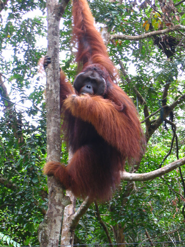 "huge male orangutan at an orangutan rehabilitation reserve outside kuching.  they are ""semi-wild."""
