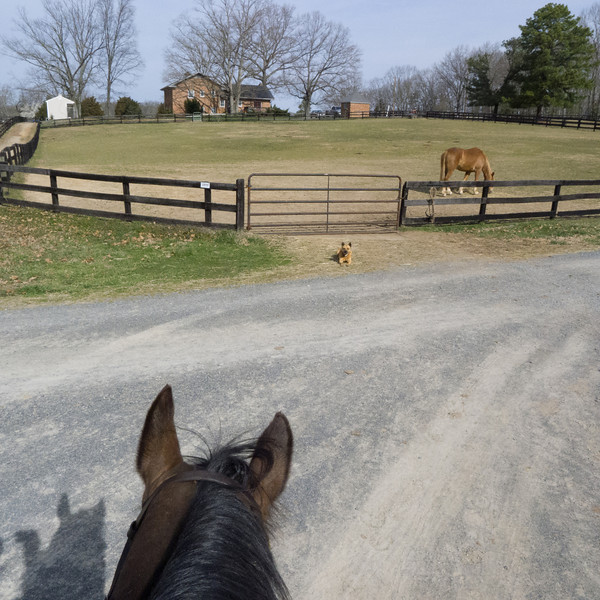 Waiting patiently. ( That is Epic Madison's pasture mate gobbling up her share of the hay while she is not there to abuse him)