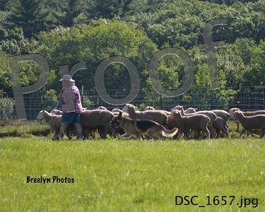 Saturday GSDC of CM Herding 8/9/14