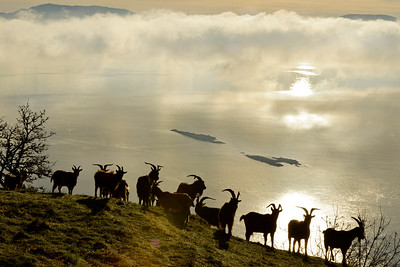 feral goats of Saturna Island