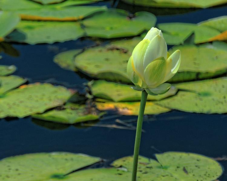 Lotus Bloom, Savannah Wildlife Preserve