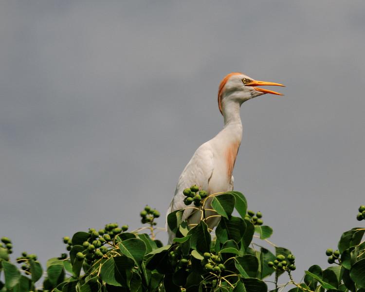 Cattle Egret in a tree, Savannah Wildlife Preserve