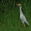 Cattle Egret - Savannah Wildlife Preserve