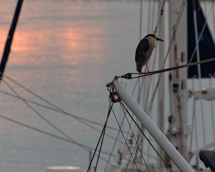 Night Heron, Skidaway Island