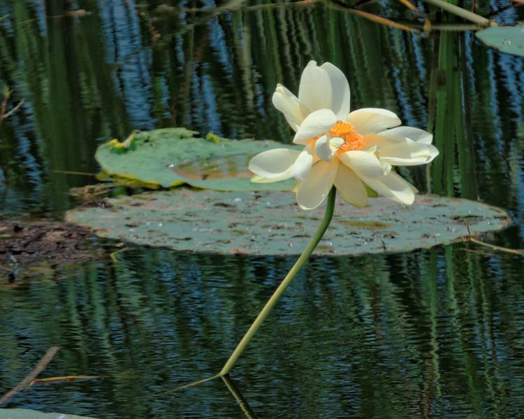 Lotus Flower, Savannah Wildlife Preserve