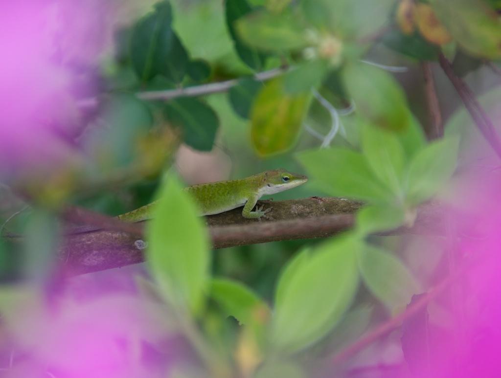 Lizard framed by Azaleas at Magnolia Plantation