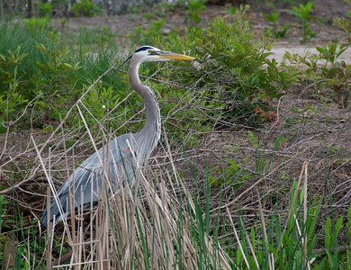 Great Blue Heron at Magnolia Plantation