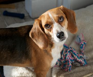 Darwin the beagle