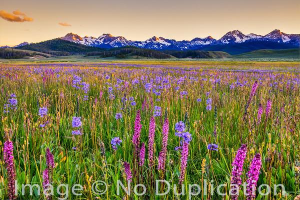 Sawtooth Wildflowers