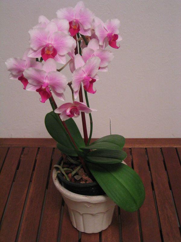2005 03 28 Monday - Lydia Mi Mi Im's orchid