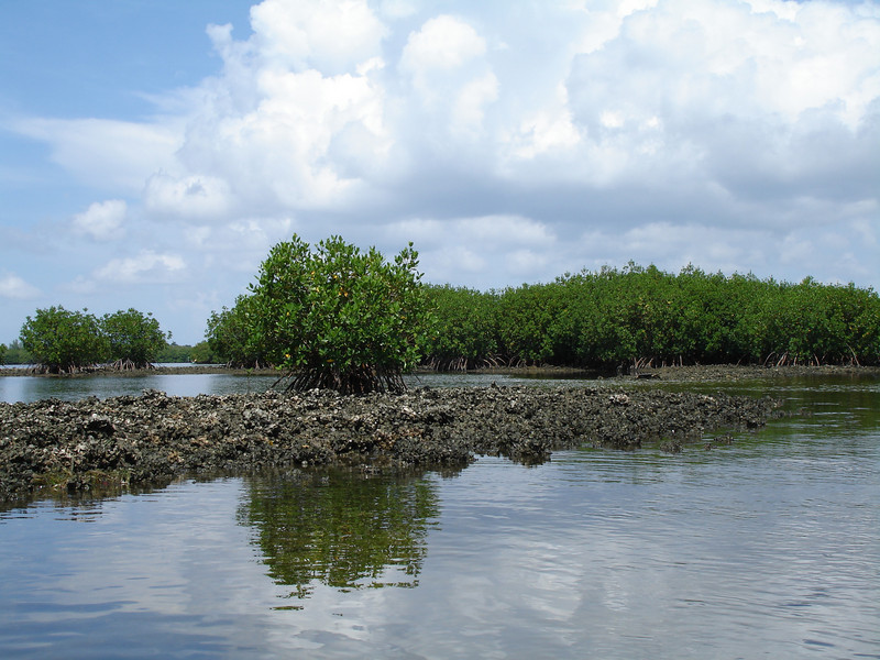Mangroves and Oyster Beds, Weedon Island, Florida