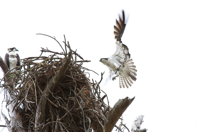 Osprey's nest building, Honeymoon Island, Florida