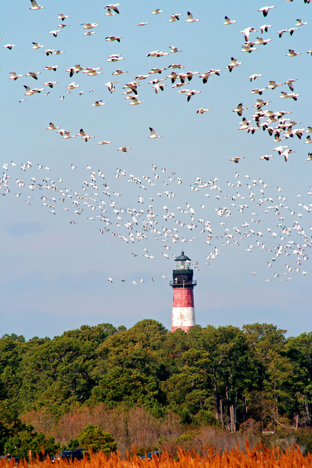 Assateague lighthouse with snow geese flying.