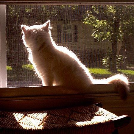 Schrodinger the Birman Cat - 2015