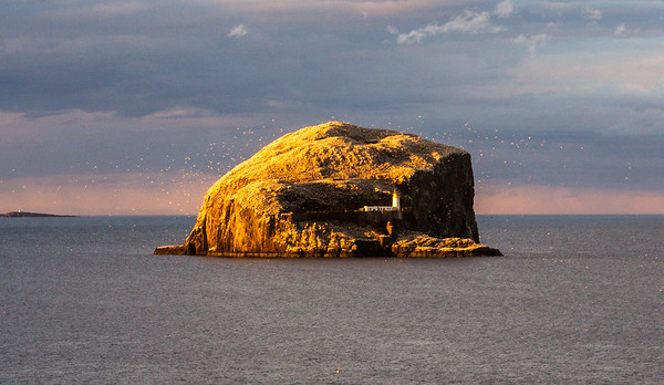 Bass Rock, Furth of Forth, surrounded by gannets in the setting sun.
