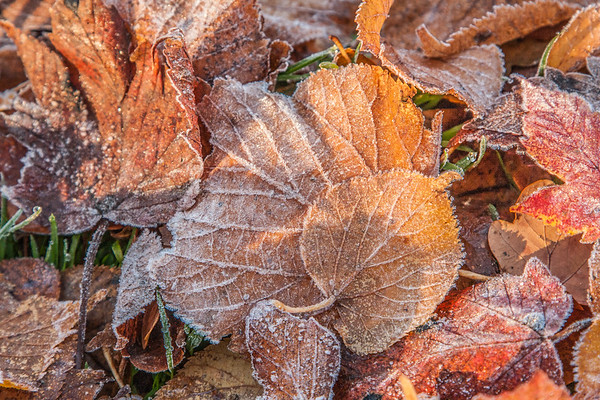Frost on autumn leaves, Glentanar Estate