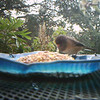 Junco finally gets brave enough to eat out of the tray.