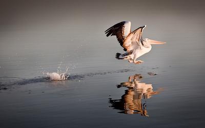 pelican_bg_1920x1200_calvinbradshaw