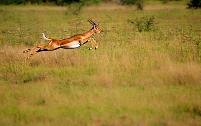 Impala_jumping_bg_1920x1200_calvinbradshaw