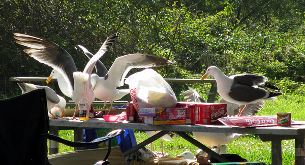 Seagulls take over picnic site