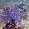 PURPLE VENUS SEA FAN WITH TINY SILVER FISH