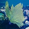 GREEN VENUS SEA FAN
