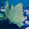 GREEN VENUS SEA FAN