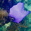 PURPLE COMMON SEA FAN