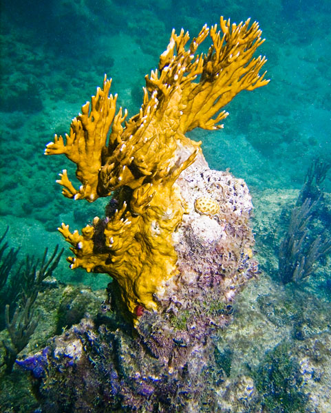 TRUE COLORS OF THE BRANCING CORAL-AMAZING
