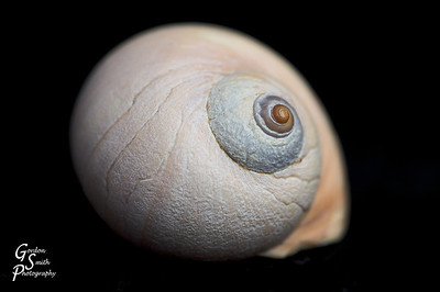 This small shell is less than an inch, but the generous curves caught my eye.  I shot with one light to the right and used a reflector for some fill-in lighting on the left.