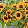 Sunflowers for sale by a street vendor.