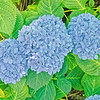 Hydrangeas and many flowers bloom throughout the city.