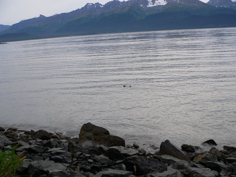 While driviing along Lowell Point Road (a dirt road paralling Resurrection Bay south of Seward) my Dad stopped suddenly.  When I asked why, he said he'd been watching what he thought were a couple birds, but when it went to go under it looked too big to be a duck.  I thought my Dad was nuts when he started talking about a fat-butted duck.  About 30 seconds later a sea otter popped above the surface - his first sighting of a sea otter in Alaska (as well as obviously mine).  It would not be our last sea otter sighting however.