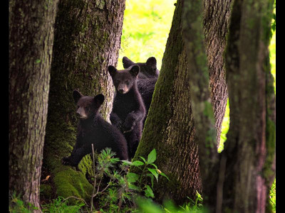 Bear Cubsn Cades Cove email