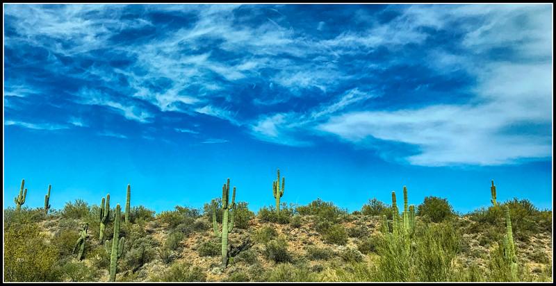 Saguaro cacti north of Phoenix