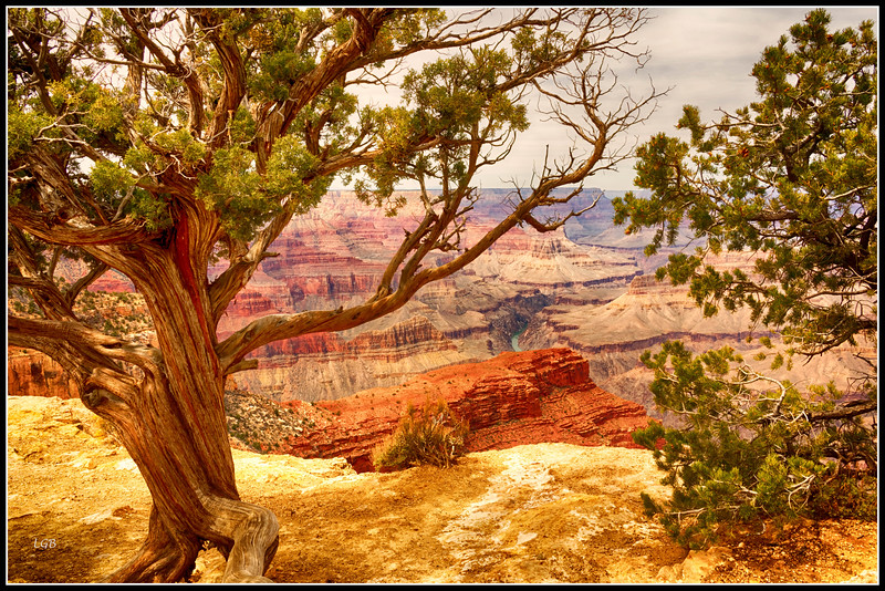 South Rim view - 8, another weather-beaten pinion pine and Colorado River